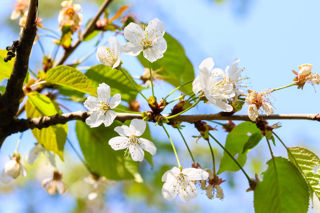 Beautiful cherry tree with tender flowers. Amazing spring blossom