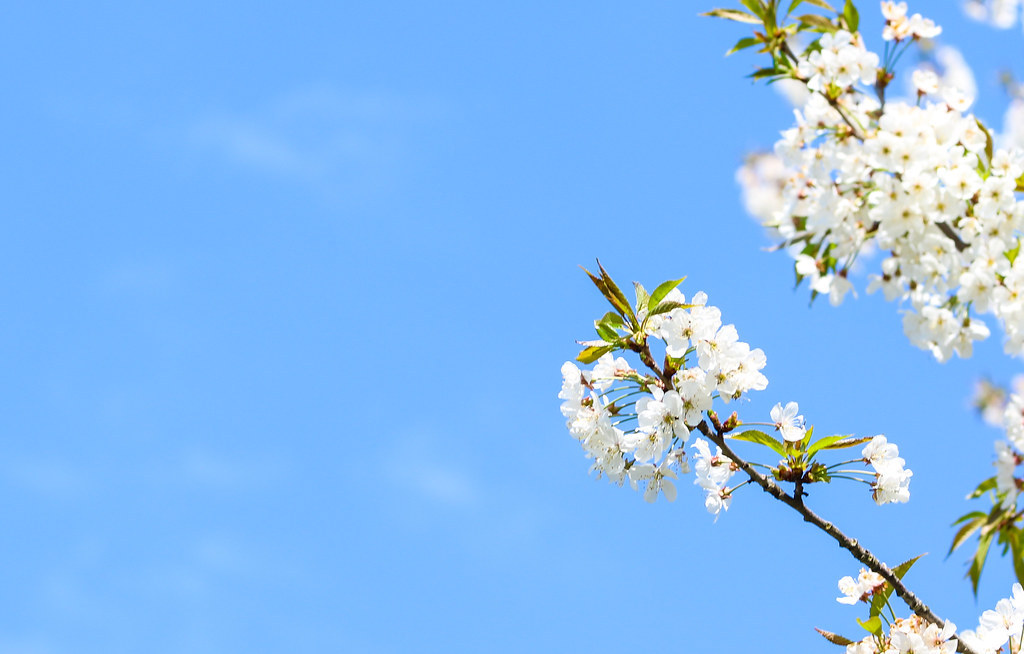 Branches of blossoming cherry macro with soft focus on gentle light blue sky background in sunlight with copy space. Beautiful floral image of spring nature.