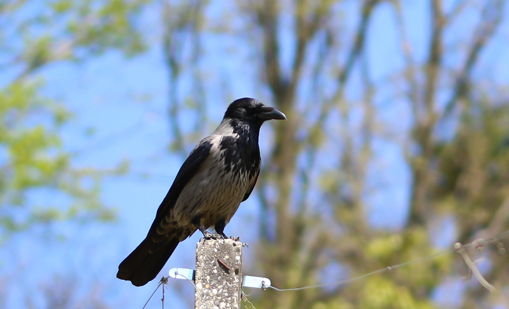 Hooded Crow standing on stone