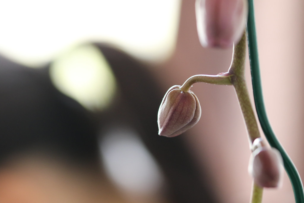 Orchid buds, closeup. Closed buds. On blurred background.